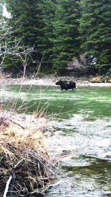 After fleeing to safety, angler Taylor Alastra shot a cellphone video of the bull moose that bluff charged him. This image of the moose crossing the river is a screen grab from that video.