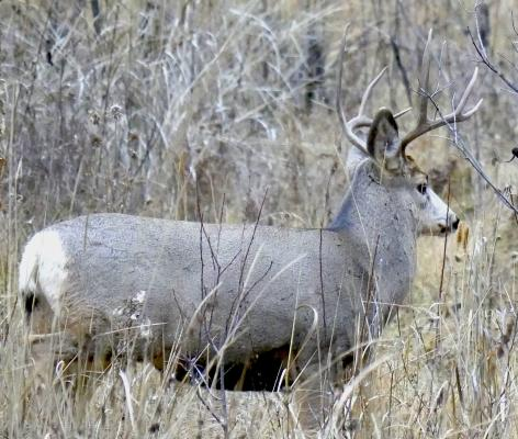 Hiding out: This mule deer buck was spotted just across the highway from the Gallatin hunter check station. It stood in the brush on the other side of the fence marking the boundary for Ted Turner's Flying D Ranch.