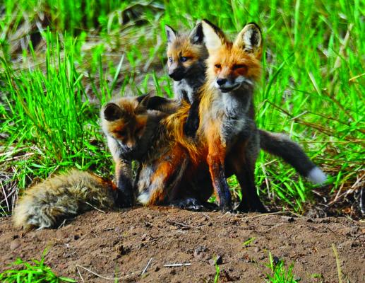 A mother fox and two kits near Yellowstone Picnic Area
