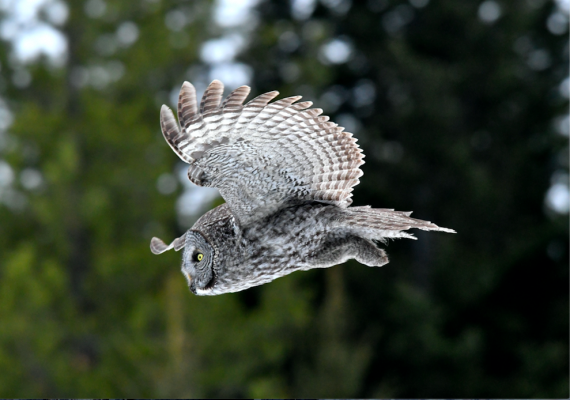 This grey owl was captured, in photo only, by Haring as he watched the bird on the hunt in Big Sky.
