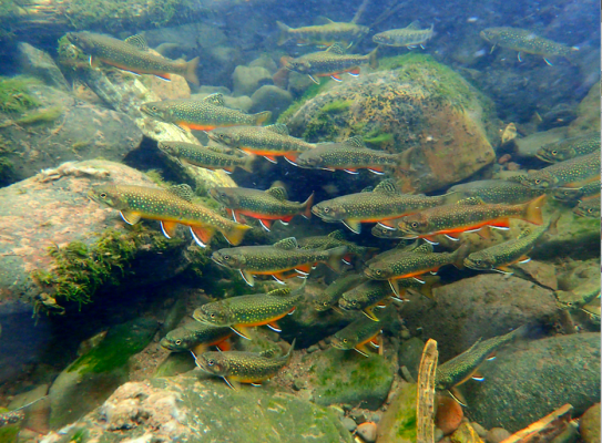 Brook trout, say hello to the human. Mike Haring discovered them when he went snorkeling up Swan Creek in September.