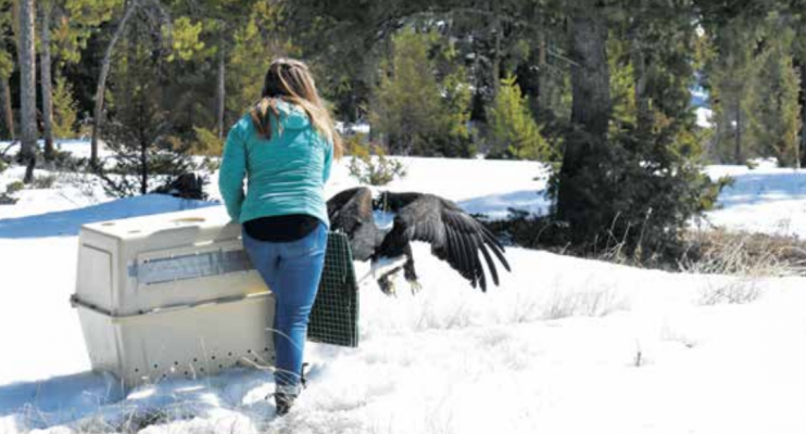 "Edgar ""Eddie"" the Eagle shows his wingspan as he prepares to fly to freedom three weeks to the day after he reportedly shattered a windshield on Hwy. 191. PHOTO BY JANA BOUNDS"