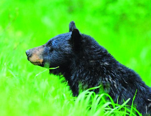 Black bear looking from the green grass: In 2008, the author found this black bear along the Tower Road peeking over the green grass after an evening thunder shower. With a long lens and steady tripod, he was able to capture this image in extremely low light.