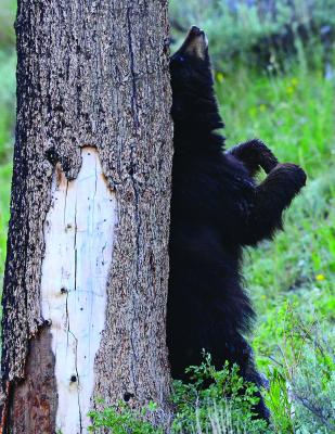 Black bear scratching its back on a tree trunk: Late one afternoon in 2013 and in failing light, the author spotted this black bear near the base of Dunraven Pass and waited as the bear meandered across a meadow and then stopped to scratch an itch in the middle of its back.
