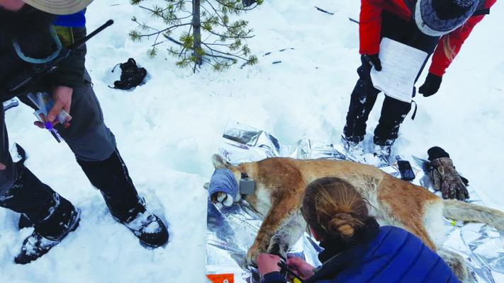 In addition to providing Montana Fish, Wildlife and Parks with valuable intel about cougar numbers, the Montana State Houndsmen Association also assists with mountain lion research in Yellowstone National Park.
