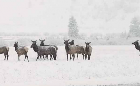 The Porcupine herd photographed last winter in their usual winter habitat north of Riverhouse BBQ & Events and east of Hwy. 191. The area was impacted by a wildland fire late in the fall of 2020. PHOTO COURTESY OF MICHELLE NIERLING