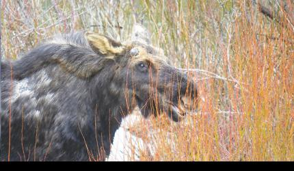 Photographed right after he charged a local fisherman, this moose—a massive herbivore capable of running 35 mph—proceeded to chow down.