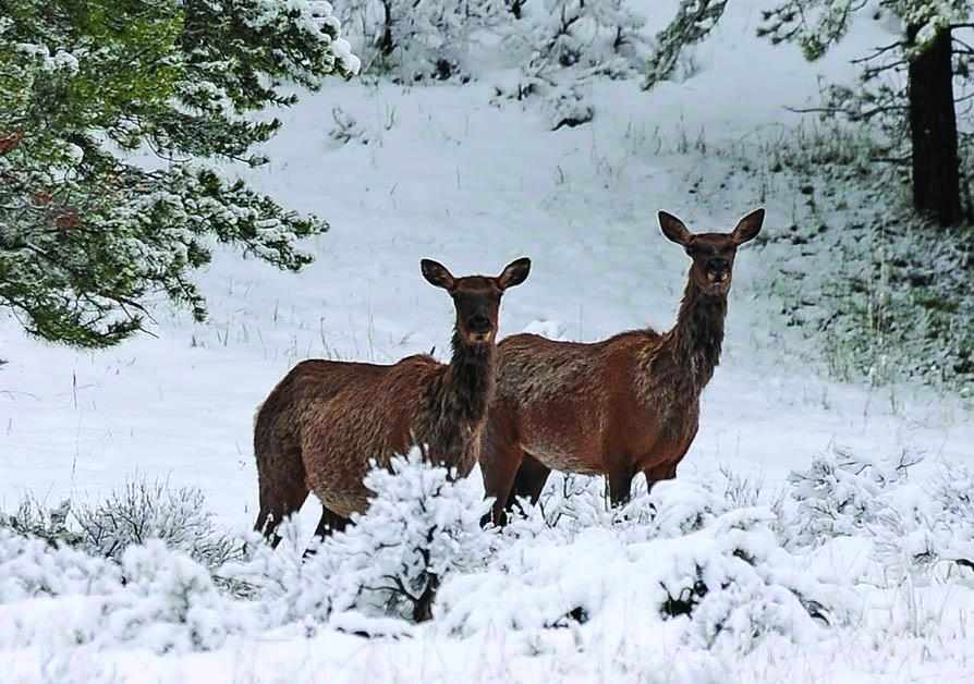 Cow elk in late spring snow storm  in YNP along the Gallatin River (1)