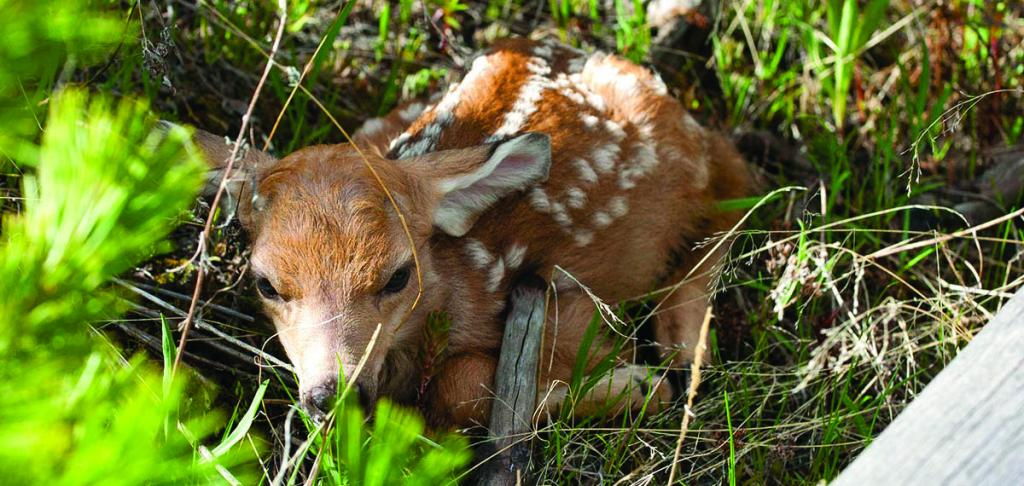 Fawn hiding in the grass on Dunraven Pass