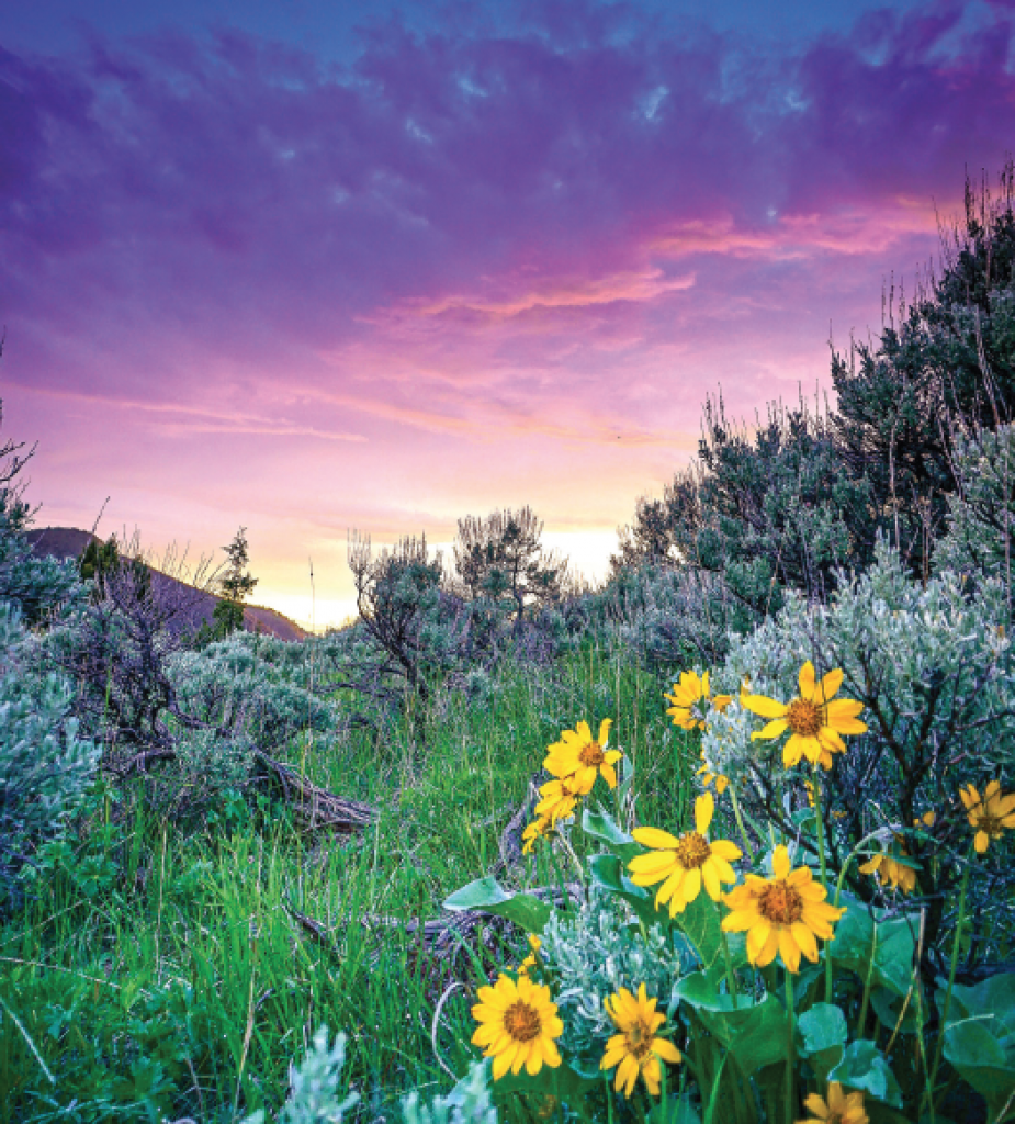 Arrowleaf Balsamroot Sunset. This vibrant photo was taken at 8:45 p.m. in early June. After putting the kids to bed Coyle noticed the sunset was building so he headed up to a spot that overlooks Jack Creek, Ennis, and the Madison Valley. This group of arrowleaf balsamroot stuck out from the sage brush, so captured the magic. It was published as a full page image in a Montana Outdoors photo issue.
