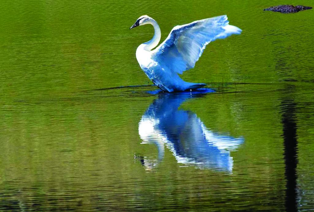 Trumpeter swan and reflection near Madison Junction in YNP