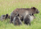Grizzlies seen on the National Elk Refuge, which includes elk and bison hunting areas. PHOTO BY TURE SCHULTZ/USFWS
