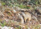 The ground squirrels are coming out, like this pair in Westfork Meadows.